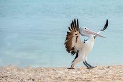 Портрет пеликана близкий поднимающий вверх на пляже Стоковое Изображение