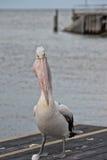 Портрет пеликана близкий поднимающий вверх на пляже Стоковые Изображения RF