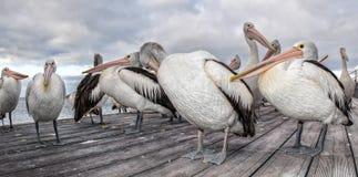Портрет пеликана на песчаном пляже Стоковое Изображение