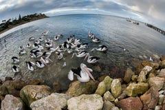 Портрет пеликана на песчаном пляже Стоковая Фотография RF