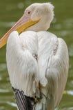 Портрет пеликана Стоковое фото RF