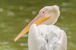 Портрет пеликана Стоковые Фотографии RF