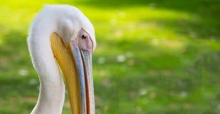 Портрет пеликана Стоковая Фотография RF