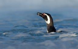 Портрет пингвина в воде Пингвин в воде Птица в волнах моря Заплывание пингвина в волнах Птица моря в воде M Стоковая Фотография RF