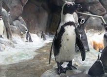 Портрет пингвина Гумбольдта Стоковые Изображения RF
