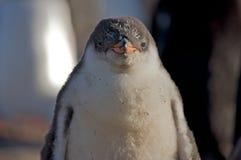портрет пингвина младенца Стоковое Изображение