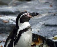 Портрет пингвина Стоковые Фотографии RF