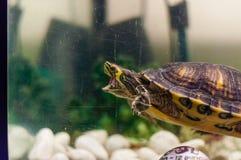 Портрет плавания черепахи слайдера пруда в аквариуме и попробовать сдержать свое отражение стоковые изображения rf