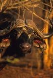 портрет плащи-накидк буйвола стоковое изображение rf