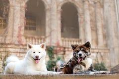 портрет положения собаки 2 красивого счастливого японского Акита Замок на предпосылке стоковые изображения