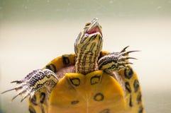 Портрет положения черепахи Trachemys Scripta слайдера пруда в ans аквариума выглядит как динозавр стоковые фотографии rf