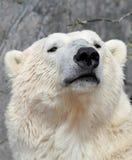 Портрет полярного медведя. Стоковая Фотография