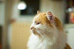 Портрет померанцового и белого кота Стоковые Изображения