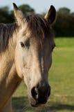 Портрет пониа Connemara Стоковые Изображения RF