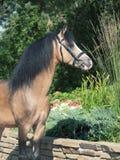 Портрет пониа welsh лосиной кожи Стоковые Изображения