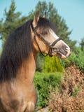 Портрет пониа welsh лосиной кожи Стоковые Фотографии RF