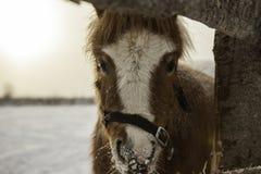 Портрет пони в paddock зимы Стоковые Изображения