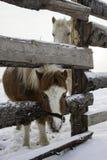 Портрет пони и лошади в paddock зимы Стоковая Фотография