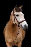 Портрет пони лосиной кожи на черной предпосылке Стоковая Фотография RF