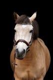 Портрет пони лосиной кожи на черной предпосылке Стоковое Фото