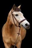 Портрет пони лосиной кожи на черной предпосылке Стоковые Изображения