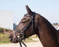 Портрет пони спорта с уздечкой стоковое изображение rf