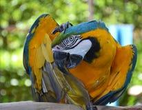 Портрет попугая ары Амазонки Стоковое Изображение