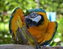 Портрет попугая ары Амазонки Стоковая Фотография RF