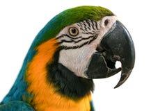 Портрет попугая ары изолированный на белой предпосылке Стоковые Фотографии RF