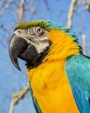 Портрет попугая ары на естественном bacground Стоковые Изображения RF