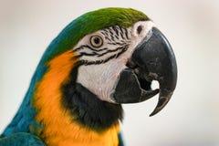 Портрет попугая ары на предпосылке светлой стены Стоковое фото RF