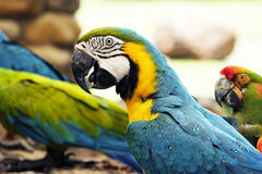 Портрет попугая ары сини и золота Стоковые Фото