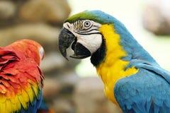 Портрет попугая ары сини и золота Стоковые Изображения RF