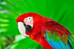 Портрет попугая ары шарлаха против джунглей Стоковые Изображения RF