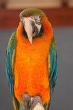 Портрет попугая ары Стоковое фото RF