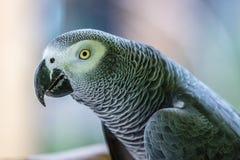 Портрет попугая африканского серого цвета Конго Стоковые Фото