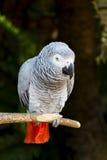 Портрет 3 попугая африканского серого цвета Стоковое Изображение