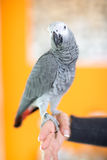 Портрет попугая африканского серого цвета Стоковое фото RF