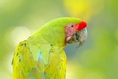 Портрет попыгая ары Попугай от Коста-Рика Одичалая птица попугая, ара зеленого попугая Больш-зеленая, ambigua Ara Одичалая редкая Стоковые Фото