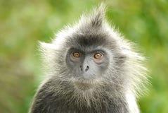 Портрет посеребренной обезьяны лист стоковая фотография