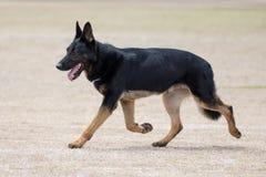 Портрет полицейской собаки Стоковые Фотографии RF