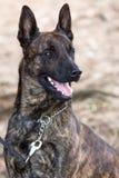 Портрет полицейской собаки Стоковое Изображение RF