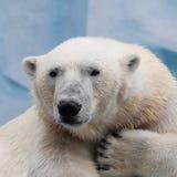 Портрет полярного медведя Стоковые Изображения RF