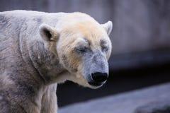 Портрет полярного медведя Стоковая Фотография RF