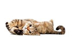 Портрет прелестного кота шотландского прямо стоковая фотография