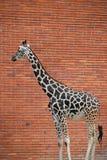 Портрет профиля жирафа над красной кирпичной стеной Стоковые Изображения RF