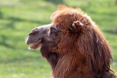 Портрет профиля Bactrian верблюда с зеленым цветом запачкал предпосылку стоковая фотография rf