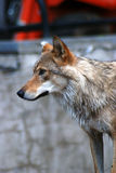 Портрет профиля головы серого волка Стоковое Изображение RF