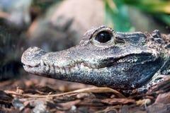 Портрет профиля крокодила Взгляд со стороны своей челюсти Стоковое Изображение