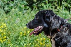 Портрет профиля крупного плана черной собаки Стоковая Фотография